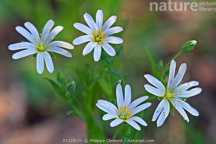 Greater stitchwort flower {Stellaria holostea} France, WILDFLOWERS,EUROPE,FLOWERS,FOUR,PLANTS, Philippe Clement
