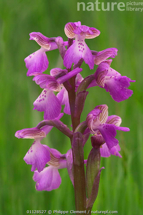 Green winged orchid {Anacamptis morio} France  ,  EUROPE, FLOWERS, MONOCOTYLEDONS, ORCHIDACEAE, PLANTS, VERTICAL  ,  Philippe Clement