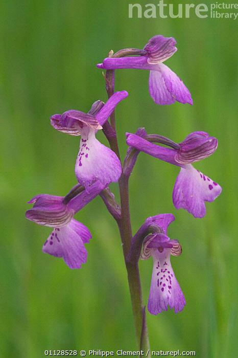 Green winged orchid {Anacamptis morio} France, EUROPE, FLOWERS, MONOCOTYLEDONS, ORCHIDACEAE, PLANTS, VERTICAL, Philippe Clement