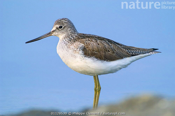 Greenshank wading {Tringa nebularia} Belgium, NEBULARIA,BIRDS,EUROPE,WADERS,PORTRAITS,PROFILE,SHANKS, Philippe Clement