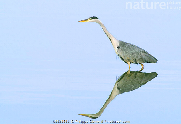 Grey heron wading {Ardea cinerea} France, REFLECTIONS,WADING BIRDS,EUROPE,FISHING,BIRDS,HERONS,WATER,PONDS,LAKES, Philippe Clement