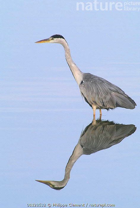 Grey heron wading {Ardea cinerea} France, HERONS,BIRDS,FISHING,EUROPE,WADING BIRDS,VERTICAL,REFLECTIONS,WATER,PONDS,LAKES, Philippe Clement
