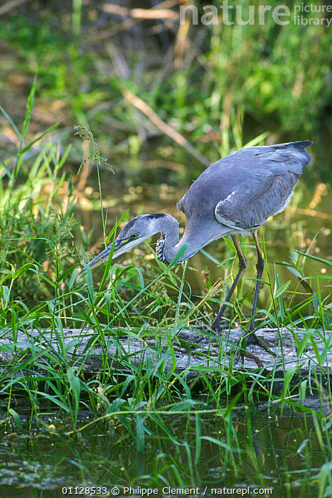 Grey heron fishing {Ardea cinerea} Kruger NP, South Africa, RESERVE,SOUTHERN AFRICA,VERTICAL,WADING BIRDS,WADING,WETLANDS,BIRDS,HERONS, Philippe Clement