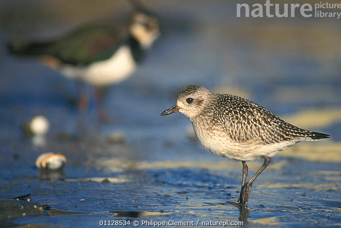 Grey plover on beach {Pluvialis squatarola} Belgium, MOVEMENT,PLOVERS,BIRDS,COASTS,EUROPE,WALKING,WADERS, Philippe Clement
