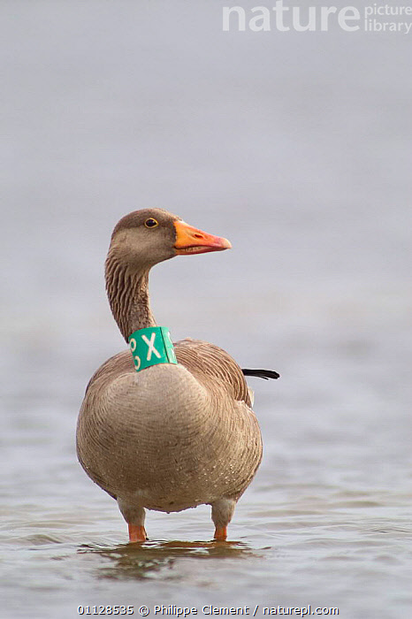 Greylag goose with tag {Anser anser} Belgium  ,  WATERFOWL,VERTICAL,TAGGED,TAGGING,RESEARCH,EUROPE,BIRDS,GEESE,Wildfowl, waterfowl  ,  Philippe Clement