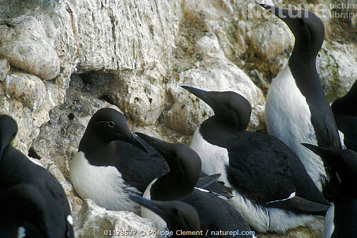 Common guillemots nesting on cliff {Uria aalge} Fowlsheugh, Scotland, UK, SEABIRDS,EUROPE,BIRDS,COLONY,CLIFFS,AUKS,NESTS,Geology, Seabirds, Philippe Clement