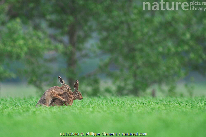 European hares mating in field {Lepus europaeus} Belgium  ,  MAMMALS,MALE FEMALE PAIR,LAGOMORPHS,MATING BEHAVIOUR,BEHAVIOUR,COPULATION,FIELDS,EUROPE,Reproduction,Hares  ,  Philippe Clement