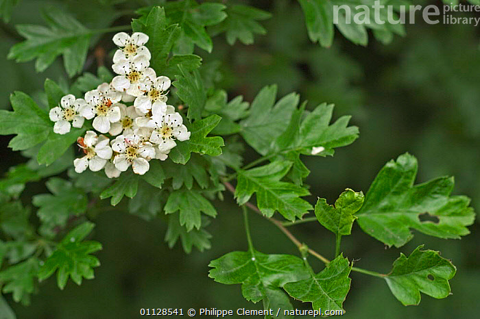 Hawthorn in flower {Crataegus monogyna} Belgium  ,  EUROPE,FLOWERS,PLANTS,TREES  ,  Philippe Clement