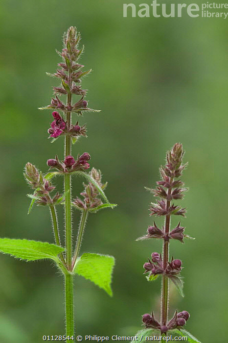Hedge woundwort {Stachys sylvatica} Belgium, WILDFLOWERS,VERTICAL,PLANTS,FLOWERS,EUROPE, Philippe Clement