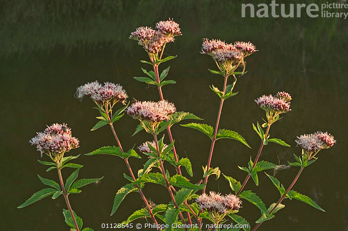 Hemp agrimony {Eupatorium cannabinum} France, EUROPE,FLOWERS,AGRIMONIES,PLANTS,WILDFLOWERS, Philippe Clement