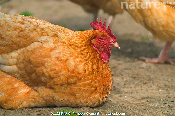 Domestic hen, Labelroos breed {Gallus gallus domesticus} Belgium  ,  POULTRY,BIRDS,FARMYARD,EUROPE  ,  Philippe Clement