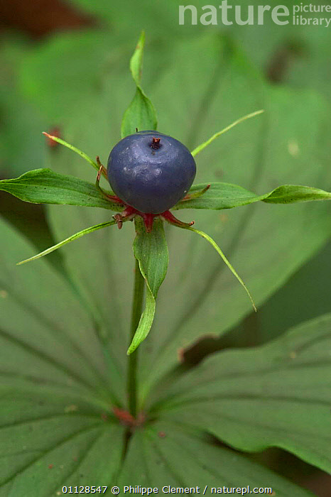 Herb paris flower berry {Paris quadrifolia} Belgium, EUROPE,FRUIT,BERRIES,PLANTS,WILDFLOWERS,VERTICAL, Philippe Clement