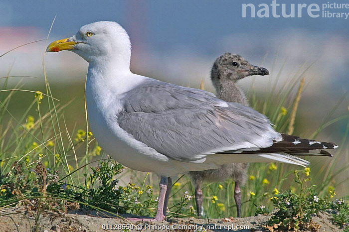 Herring gull with chick {Larus argentatus} Belgium  ,  PROFILE,SEABIRDS,MOTHER,GULLS,HUMOROUS,BABIES,ASGENTATUS,BABY,BIRDS,CHICKS,FAMILIES,EUROPE,Concepts  ,  Philippe Clement