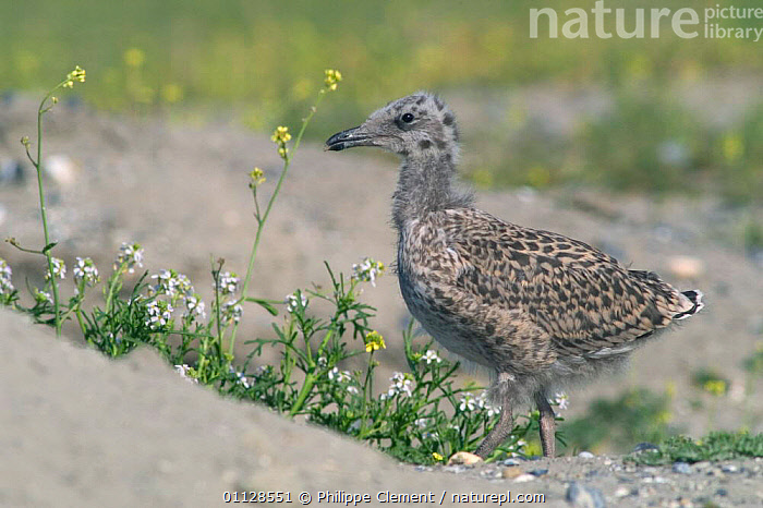 Herring gull chick {Larus argentatus} Belgium, EUROPE,CHICKS,BIRDS,BABIES,GULLS,SEABIRDS, Philippe Clement