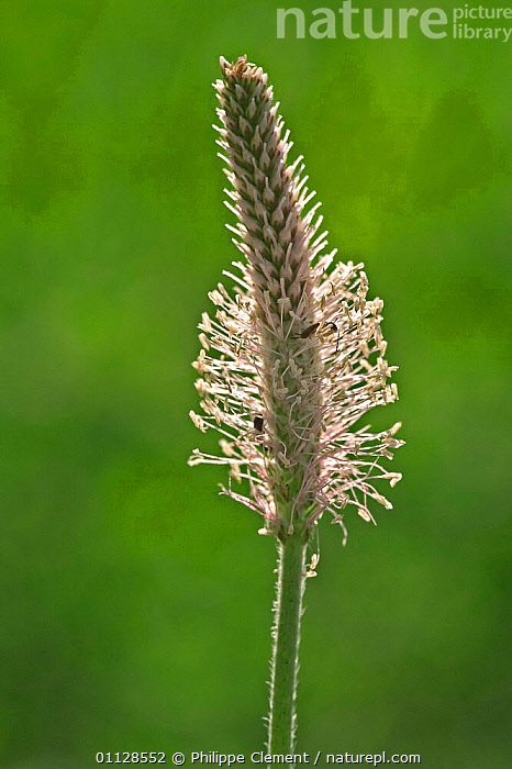 Hoary plantain {Plantago media} France  ,  VERTICAL,WILDFLOWERS,MEDIA,PLANTS,PLANTAINS,EUROPE,FLOWERS  ,  Philippe Clement