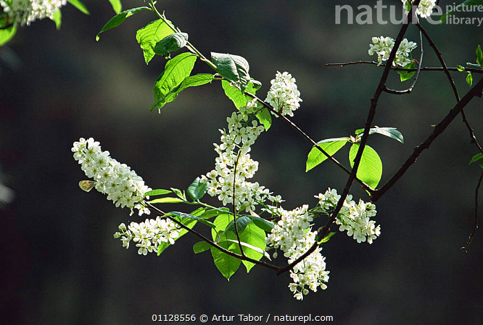 Bird cherry tree in flower {Prunus padus} Poland, FLOWERS,EUROPE,TREES,Plants, Artur Tabor