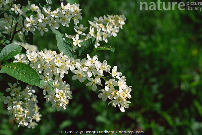 Bird cherry tree in flower {Prunus padus} Sweden, SCANDINAVIA,TREES,EUROPE,FLOWERS,Plants, Bengt Lundberg