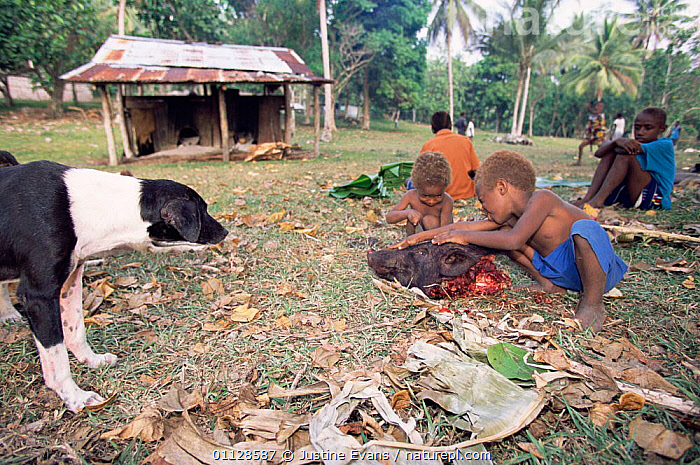 Children play with Pig's head after traditional slaughter, Espirito Santo, Vanuatu  ,  PIG,PEOPLE,PLAYING,MELANEIA,LANDSCAPES,HORRIFIC,DEATH,MELANESIA  ,  Justine Evans