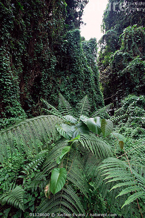Mile-a-minute vine encroaching on native plants, Vatte, Espirito Santo, Vanuatu, MELANESIA,ENCROACHMENT,TROPICAL RAINFOREST,VERTICAL, Justine Evans