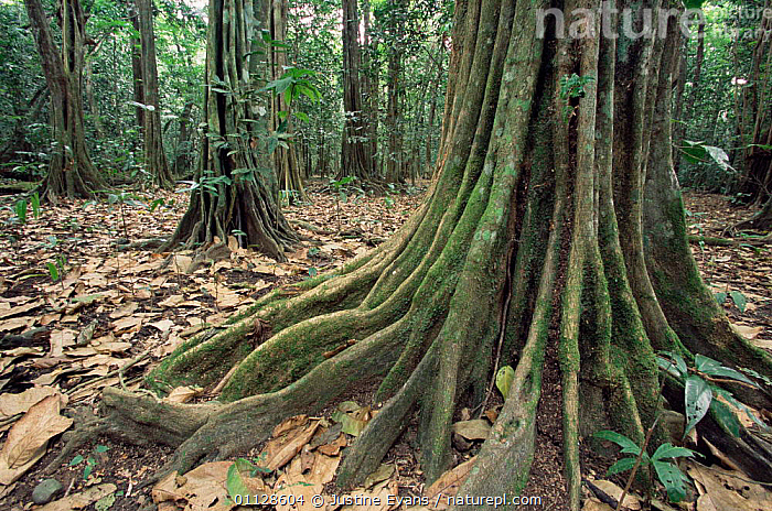 Namamba tree buttress roots, Vatte conservation area, Espirito Santo, Vanuatu, Melanesia  ,  LANDSCAPES,LARGE,TREES,SIZE,WOODLANDS,TROPICAL,UNDERSTOREY,Plants,MELANESIA , understory  ,  Justine Evans