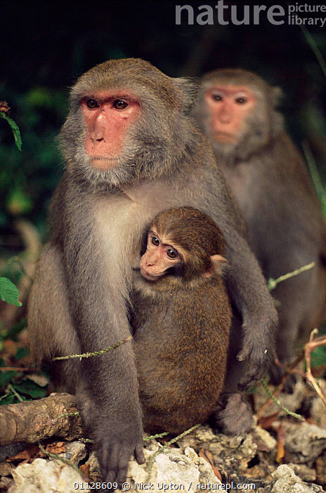 Formosan macaque with young {Macaca cyclopis} Taiwan., PRIMATES,MOTHER,MACAQUES,MAMMALS,ENDEMIC,FAMILIES,BABY,BABIES,ASIA,VERTICAL,TAIWAN,Monkeys, Nick Upton