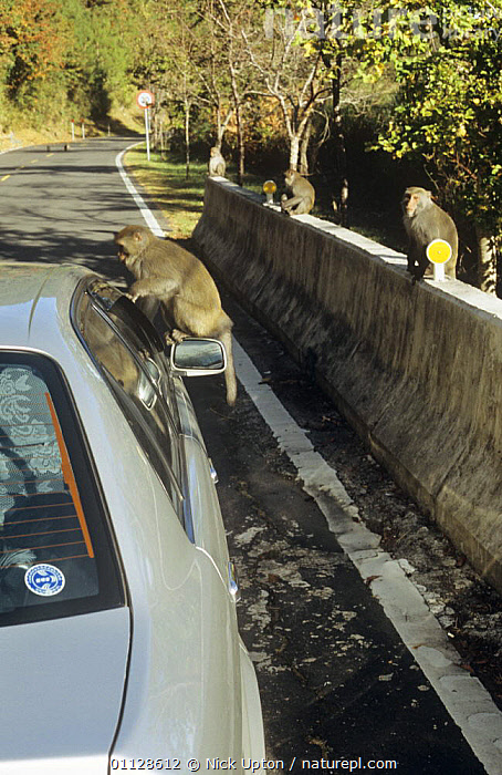 Formosan macaque (Macaca cyclopis) begging for food from tourist car, others sitting on roadside barrier, Taiwan, ASIA,BEHAVIOUR,ENDEMIC,MACAQUES,MAMMALS,MONKEYS,PRIMATES,ROADS,taiwan,TOURISM,VEHICLES,VERTEBRATES,VERTICAL, Nick Upton