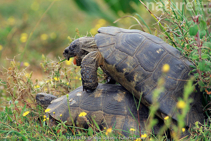 Marginated tortoises mating {Testudo marginata} Greece  ,  GRASSLAND,EUROPE,MALE FEMALE PAIR,MATING BEHAVIOUR,REPTILES,Reproduction,Chelonia, Tortoises  ,  Nick Upton