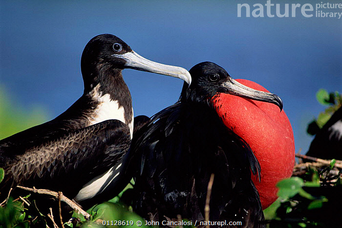 Magnificent frigate bird courtship, male with red pouch inflated, Antigua, Caribbean, FREGATA,DISPLAY,BIRDS,PAIR,MATING BEHAVIOUR,MALE FEMALE PAIR,Reproduction,Communication, John Cancalosi