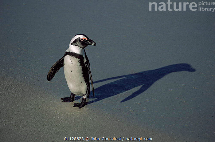 Black footed /Jackass penguin with shadow {Speniscus demersus} South Africa, SOUTHERN AFRICA,SPENISCUS,SHADOWS,BIRDS,FLIGHTLESS,PENGUINS,PORTRAITS,JACKASS,Seabirds, Seabirds, John Cancalosi
