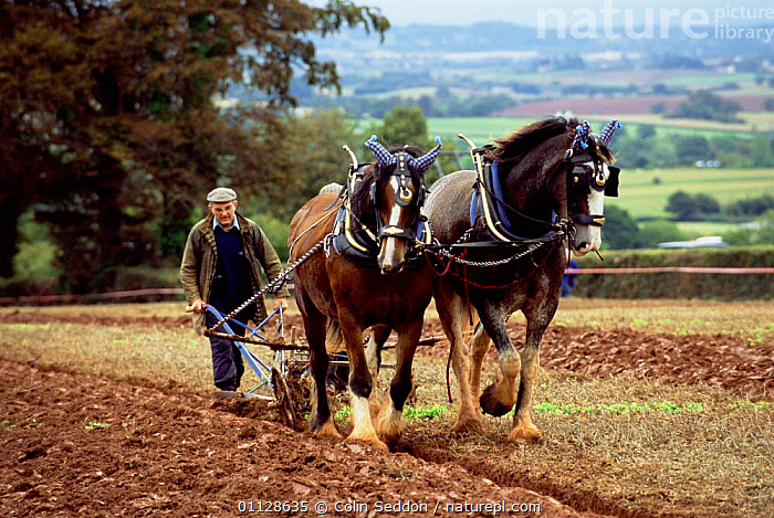 Shire horses ploughing {Equus caballus} Somerset, UK  ,  PEOPLE,TRADITIONAL,WORKING,AGRICULTURE,FIELDS,FARMLAND,Equines ,HORSES,VERTEBRATES,MAMMALS,PERISSODACTYLA,Europe,United Kingdom  ,  Colin Seddon