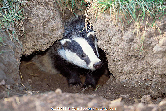 Badger at sett entrance {Meles meles} Somerset, UK.  ,  HOMES,BADGERS,BURROW,BURROWS,CARNIVORES,UK,MAMMALS,Europe,United Kingdom,British,Mustelids  ,  Colin Seddon