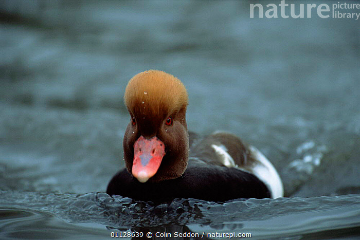 Red crested pochard male on water {Netta ruffina} Gloucestershire, UK.  ,  UK,WATERFOWL,DUCKS,DUCK,BIRDS,EUROPE,MALES,United Kingdom,British  ,  Colin Seddon