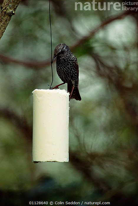 Common starling {Sturnus vulgaris} on fat feeder, Somerset, UK., GARDENS,EUROPE,FEEDERS,FEEDING,BIRDS,UK,STARLINGS,VERTICAL,United Kingdom,British, Colin Seddon