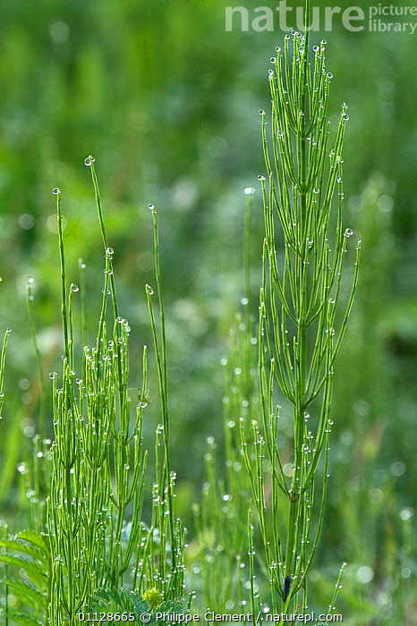 Common horsetails {Equisetum arvense} France, FIELD,EUROPE,GROWTH,VERTICAL,Concepts, Philippe Clement