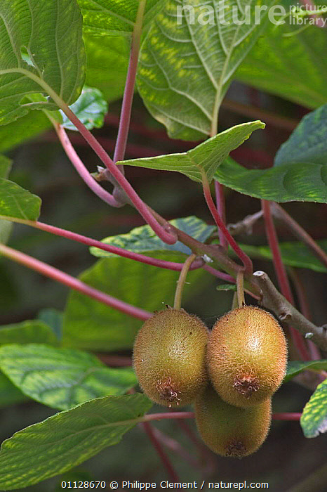 Kiwi fruit on tree {Actinidia chinensis}  ,  FRUITS,PLANTS,EDIBLE,EDIBLE,FRUITS,VERTICAL,NEW ZEALAND,CHINA,Asia  ,  Philippe Clement