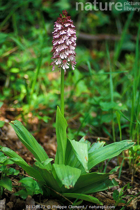 Lady orchid {Orchis purpurea} France  ,  VERTICAL,EUROPE,FLOWERS,PLANTS,ORCHIDS  ,  Philippe Clement