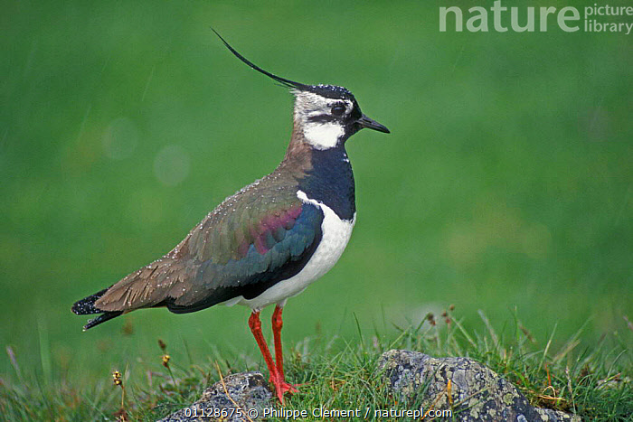 Lapwing in rain {Vanellus vanellus} Scotland, UK, WADERS,RAINING,PROFILE,PORTRAITS,EUROPE,BIRDS,PLOVERS, Waders, Philippe Clement