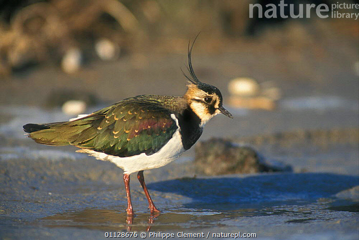 Lapwing foraging on shore {Vanellus vanellus} Belgium, PLOVERS,BIRDS,COASTS,EUROPE,FEEDING,PROFILE,RAINING,RAIN,WADERS,Weather, Waders, Philippe Clement