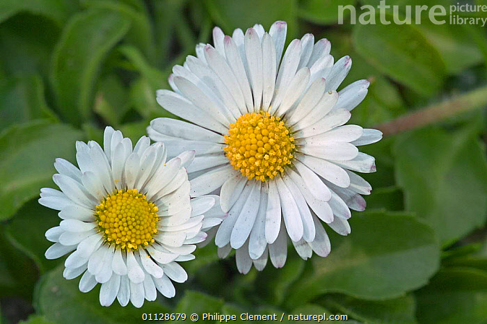 Common daisy {Bellis perennis} France, TWO,PORTRAITS,FLOWERS,EUROPE,DAISIES,PLANTS, Philippe Clement