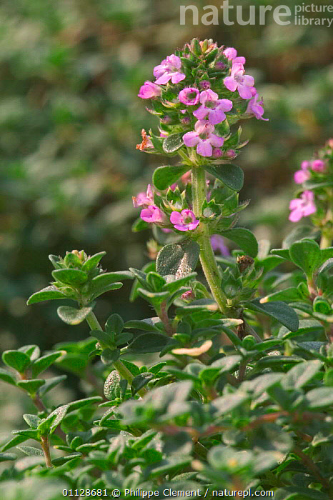 Lemon thyme {Thymus x citriodorus} Belgium  ,  VERTICAL,FLOWERS,EUROPE,HERBS,PLANTS  ,  Philippe Clement