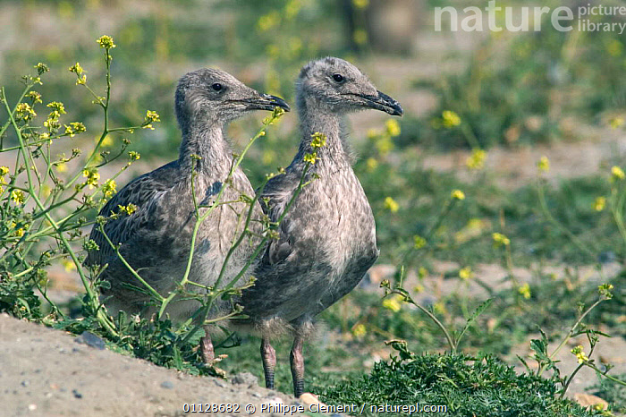 Lesser black backed gull chicks {Larus fuscus} Belgium  ,  GULLS,JUVENILE,JUVENILES,EUROPE,BABIES,TWO,SEABIRDS,SEAGULLS,SEAGULL ,BIRDS,VERTEBRATES,GULLS,  ,  Philippe Clement
