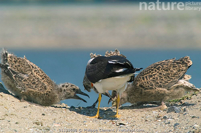 Lesser black backed gull feeding chicks {Larus fuscus} Belgium  ,  GULLS,GROUPS,PARENTAL BEHAVIOUR,EUROPE,FAMILIES,BABIES,BEGGING,SEABIRDS,SEAGULL,SEAGULLS ,BIRDS,VERTEBRATES,GULLS,  ,  Philippe Clement