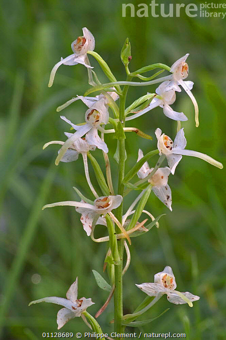 Lesser butterfly orchid in flower {Platanthera bifolia} France  ,  VERTICAL,FLOWERS,EUROPE,ORCHIDS,PLANTS  ,  Philippe Clement