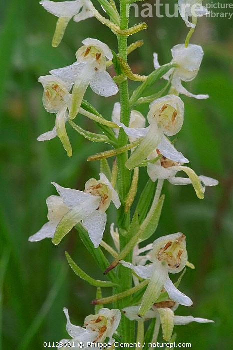 Close up of Lesser butterfly orchid flowers {Platanthera bifolia} France, VERTICAL,CLOSE UPS,EUROPE,ORCHIDS,PLANTS, Philippe Clement