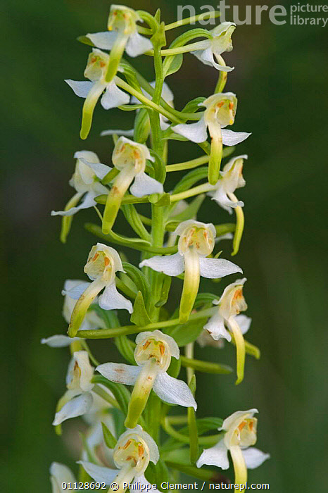Lesser butterfly orchid flowers {Platanthera bifolia} France, PLANTS,ORCHIDS,EUROPE,VERTICAL, Philippe Clement
