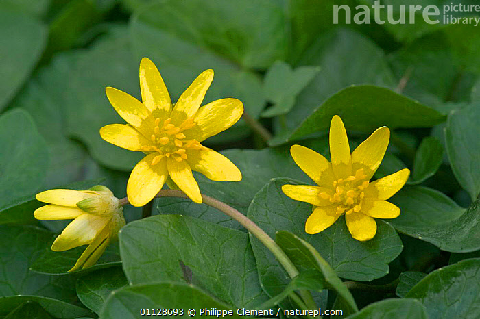 Lesser celandine flowers {Ranunculus ficaria} France, WILDFLOWERS,YELLOW,EUROPE,BUTTERCUPS,PLANTS, Philippe Clement
