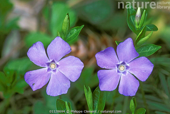 Lesser periwinkle in flower {Vinca minor} France, PLANTS,PERIWINKLES,BLUE,EUROPE,FLOWERS,TWO, Philippe Clement
