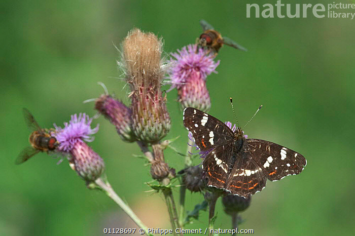 Second generation Map butterfly {Araschnia levana} and Hoverflies on thistle, THISTLES,FEEDING,FLIES,FLOWERS,EUROPE,DIPTERA,BELGIUM,ARASCHNIA,BUTTERFLIES,LEPIDOPTERA,INVERTEBRATES,INSECTS,PLANTS,MIXED SPECIES, Philippe Clement