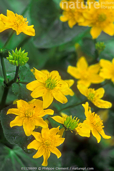 Marsh marigold / Kingcup in flower {Caltha palustris} Belgium  ,  VERTICAL,WETLANDS,YELLOW,FLOWERS,EUROPE,BELGIUM,PLANTS  ,  Philippe Clement