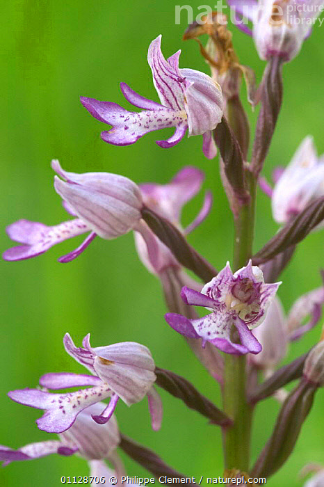 Military orchid flower {Orchis militaris} France, VERTICAL,PLANTS,ORCHIDS,FLOWERS,EUROPE,BELGIUM,CLOSE UPS, Philippe Clement